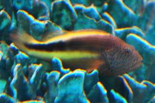 ホシゴンベ(池袋)