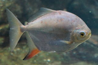レッドフックメニチス(池袋)