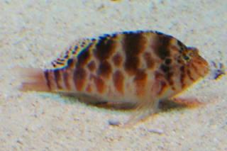 ミナミゴンベ(池袋)