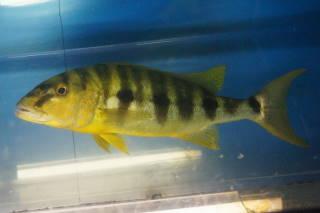 ブランジェロクロミス・ミクロレピス(タワ)