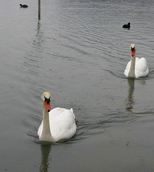 130218千波湖の白鳥-1