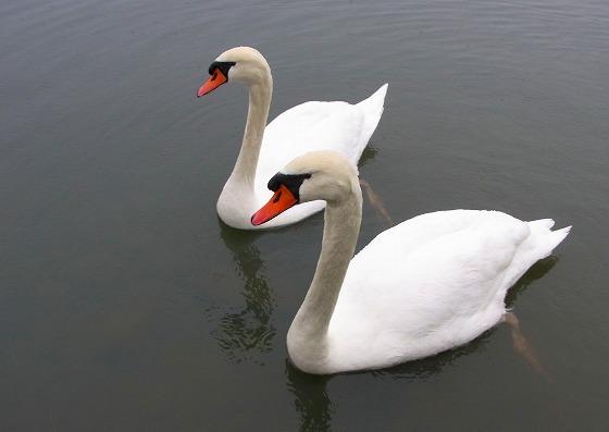 130218千波湖の白鳥-2