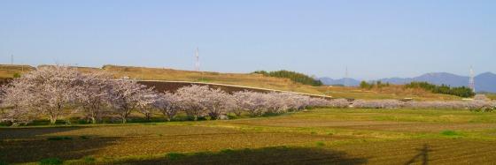 130404千本桜-4