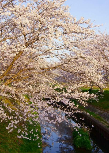 130404千本桜-5