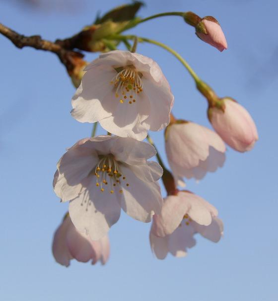 130404千本桜から-1