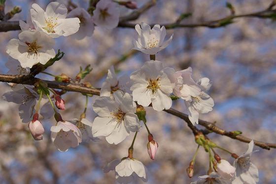 130404千本桜から-2
