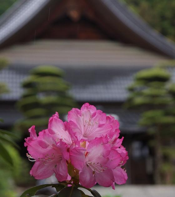 130423瑠璃光寺のシャクナゲ