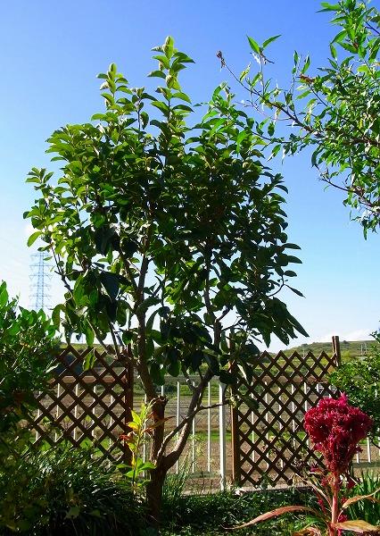 131011庭の柿の木