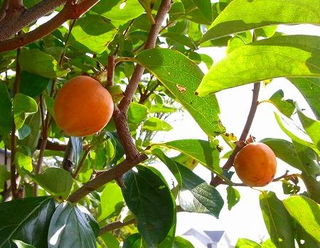 131012庭の柿