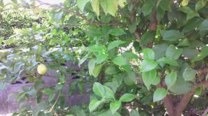 渡邊家レモンの木