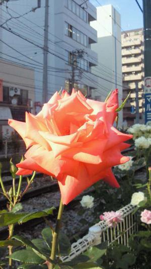 大塚都電沿いのバラ1