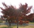 昭和記念公園紅葉2014 (6)