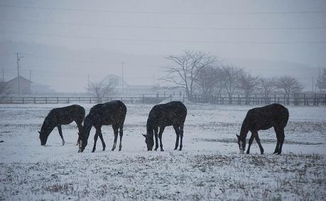 11・雪・牡馬4頭