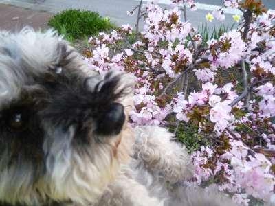 マリンと桜