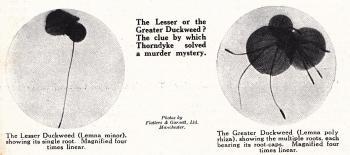 Lesser Duckweed-4