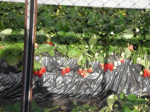イチゴのビニ-ルハウス