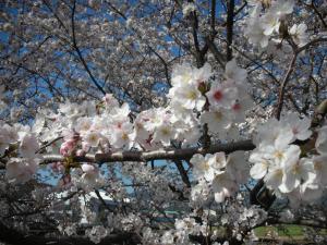 目の高さに桜