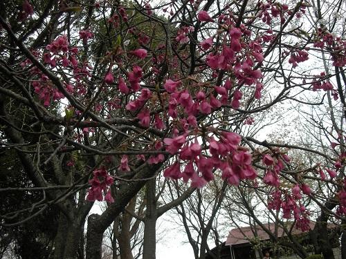 これは桜?