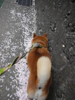 花びらの道2