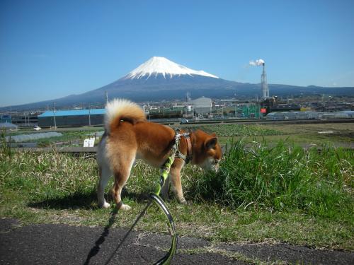 富士山と草食む犬