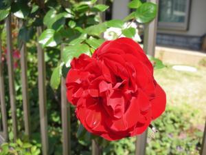 今年初の薔薇
