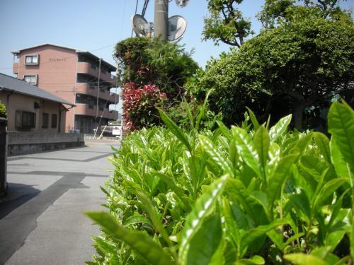 お茶の木の垣根