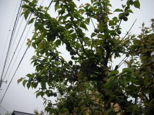 梅の実たくさん
