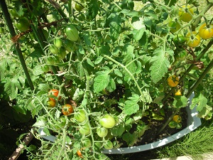 トマト 次々に