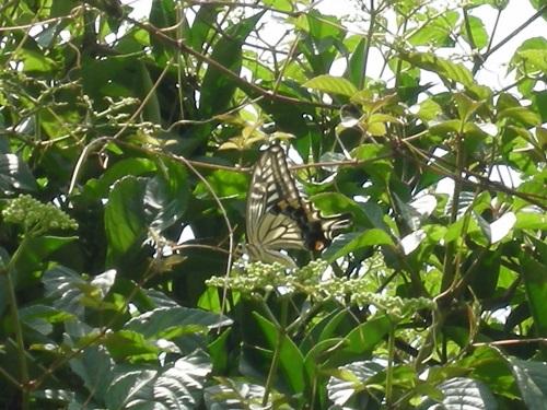 夏みかんの木にアゲハチョウ