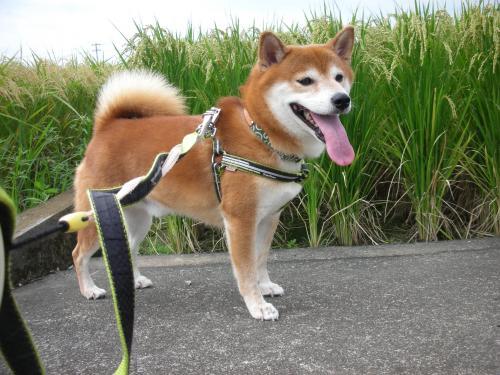 稲穂と柴犬