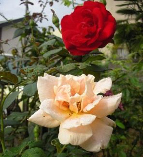 薔薇ガンバル