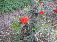 桜秋の薔薇2