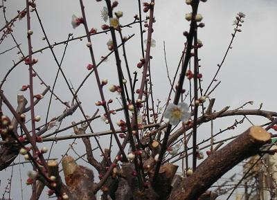 梅の花が咲いたよ 2