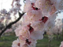 杏の花アップ_4164