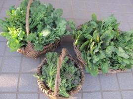 冬越し野菜_4138