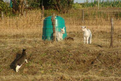 仔猫と仔ヤギ