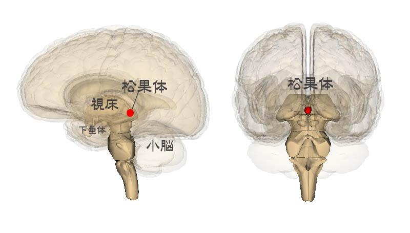 松果体にある脳砂を育てアンチエイジングにつなげる