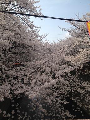 川へ向かって伸びる桜