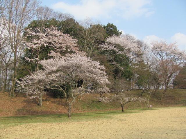 勝山城桜平成25年4月5日b