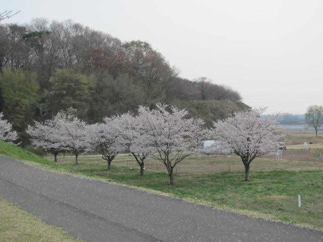 勝山城桜平成25年4月5日e