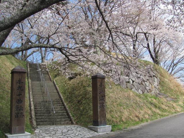 小浜城桜平成25年4月15日a