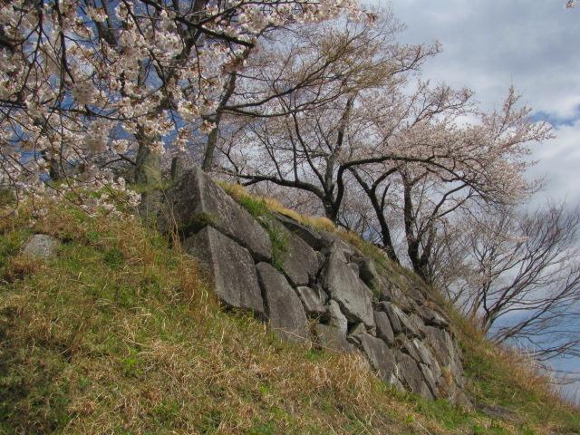 小浜城桜平成25年4月15日b