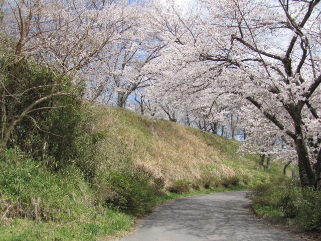 小浜城桜平成25年4月15日f