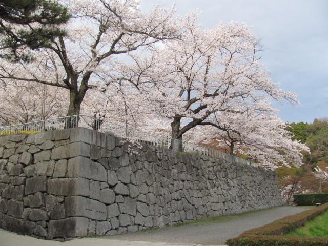 二本松城桜平成25年4月15日c