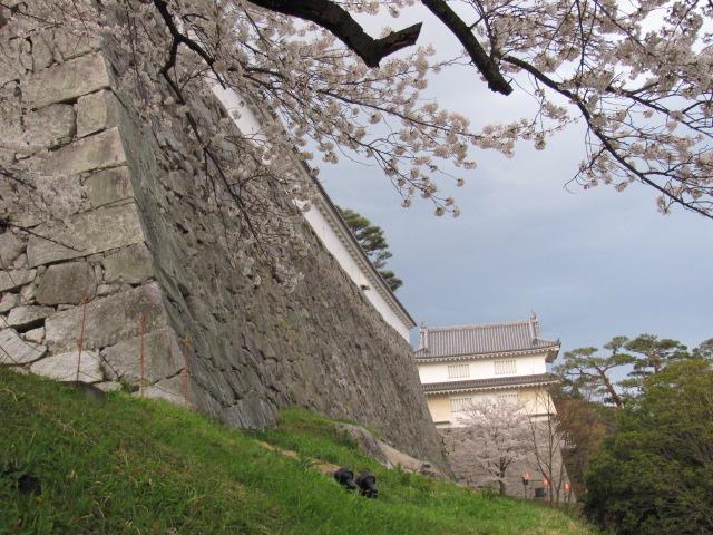 二本松城桜平成25年4月15日d