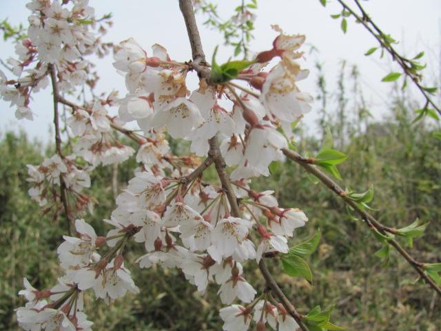 桙衝館の桜平成25年4月17日d