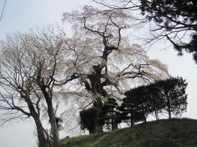 桙衝館の桜平成25年4月17日e