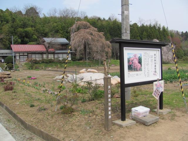 横田陣屋御殿桜平成25年17日b