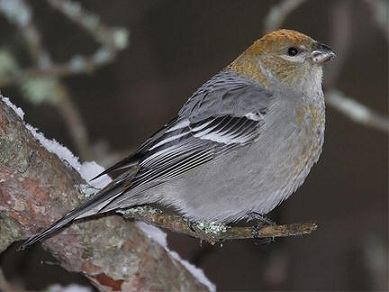 pine-grosbeak.jpg