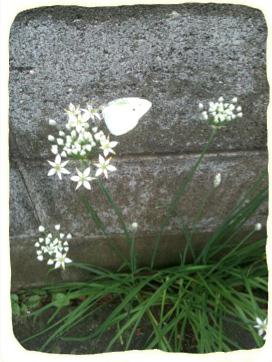 2011.9.7.白いレースフラワーと蝶 のコピー